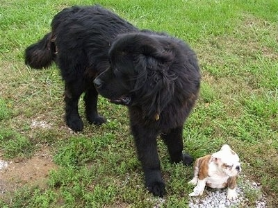 A black Newfoundland is standing in a field and looking to the left. There is a small brown with white bullldog puppy sitting in front of it