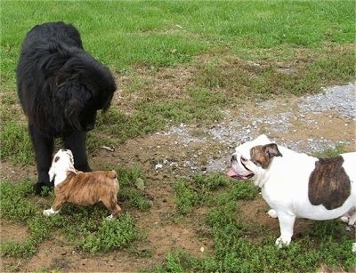 A black Newfoundland is standing in a field with a brown with white Bulldog puppy standing under its chin looking up at it. There is a white with brown Bulldog standing in front of it panting.