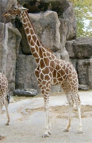 The left side of a Giraffe that is standing in sand and in front of large rocks.