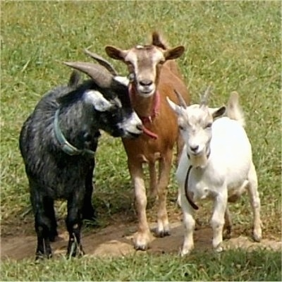 Three goats are standing in a dirt patch. Two of them are looking forward and the third goat is sticking its tongue out at the others.