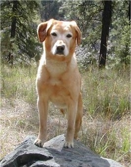 A Golden Labrador is standing on a large rock in front of woods.