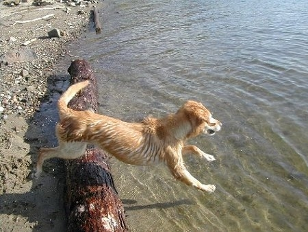 Action shot - A Golden Labrador is jumping over a log into a body of water