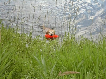 A Golden Labrador, with an orange floatie in its mouth, is swimming to shore with tall grass around it