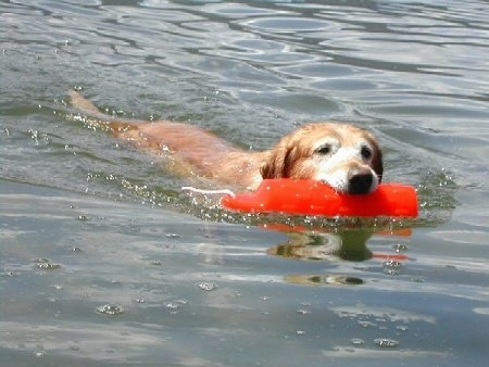A Golden Labrador has an orange floatie in its mouth and is swimming through a body of water