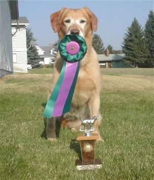 A Golden Labrador is sitting in front of a trophy. It has a green and purple ribbon in its mouth