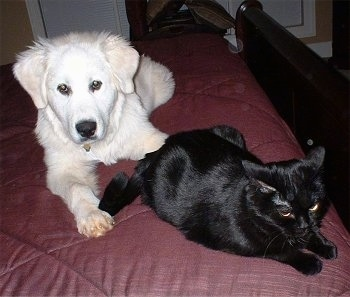 A Great Pyrenees puppy is laying on a humans maroon bed behind a black Cat