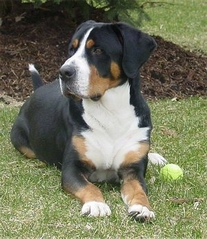 Harry the Greater Swiss Mountain Dog at 2 years old