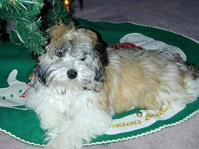 A white with tan Havanese puppy is laying on a tree mat under a Christmas tree