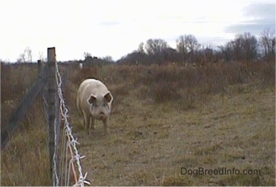 A huge hog is walking down a fenceline and it is looking forward.