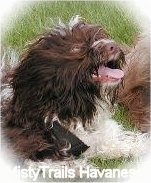 A chocolate with white Havanese has its mouth open and tongue out laying in grass. There is another dog next to it
