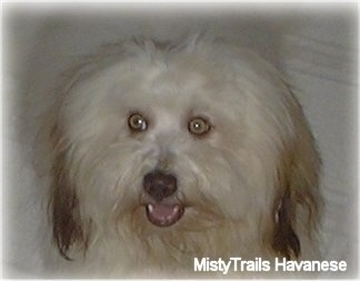 Close Up - A white with tan Havanese is sitting on a couch. Its mouth is open.
