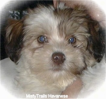 Close up head shot - A tan and brown Havanese puppy is looking forward.