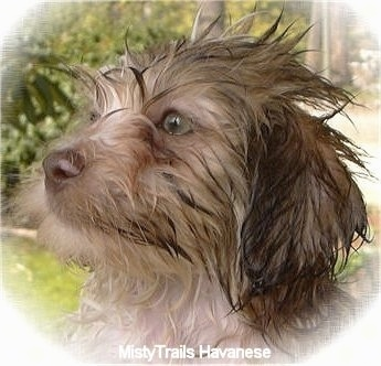 Close Up head shot - A wet sable Havanese is looking up and to the left