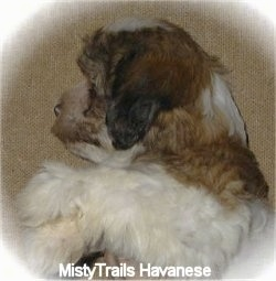 Close Up side view upper body shot - A white with brown and black Havanese puppy is sleeping on its right side