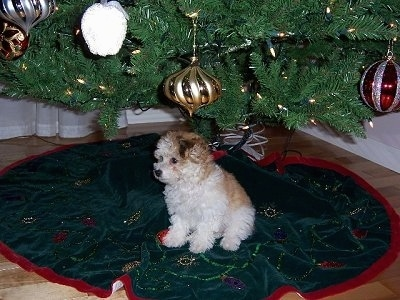 A little white with tan wavy-coated  Havanese puppy is sitting under a Christmas tree