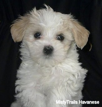Close Up - A white with tan Havanese puppy is sitting on a black backdrop