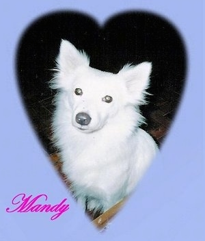 A Japanese Spitz is sitting on a floor and looking up. There is a heart vignette around the dog. The words 'Mandy' is overlayed at the bottom of the image.