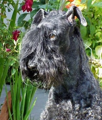 Close Up head shot - A black Kerry Blue Terrier is sitting outside and looking to the left
