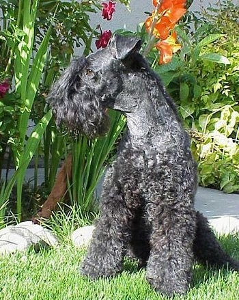 A black Kerry Blue Terrier is sitting in grass next to a flower bed and looking to the left
