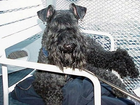 A black Kerry Blue Terrier is laying outside on top of a blue pillow on top of a white lawn chair