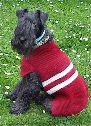 A black Kerry Blue Terrier is wearing a red sweater with two white stripes on it. Its body is facing the left and its head is turned to the left