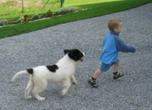 A black with white Landseer puppy is running after a toddler aged boy wearing blue outside on a black top.