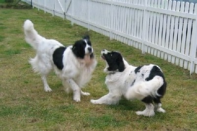 Two black with white Landseers are playing in grass with a wooden white picket fence behind them. One dog is play bowing to the other dog who is trotting over to it.