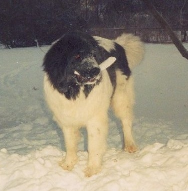 A black with white Landseer is standing outside at night in snow with a toy in its mouth and snow all over its snout.