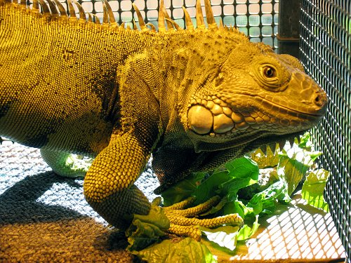 Close up - An brown iguana standing on leaves looking to the right under a heat lamp.