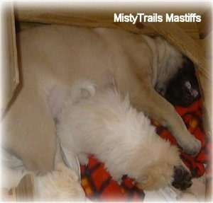 A tan with black English Mastiff puppy is sleeping on its left side. There is a tan with white Havanese puppy laying across the body of the Mastiff puppy inside of a small whelping box that the Mastiff barely fits in.