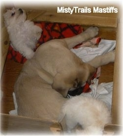 A tan with black English Mastiff puppy is laying in a small whelping box and looking at a white Havanese puppy. Behind it is a second white Havanese puppy that is jumped up with its paw on the Mastiffs back.