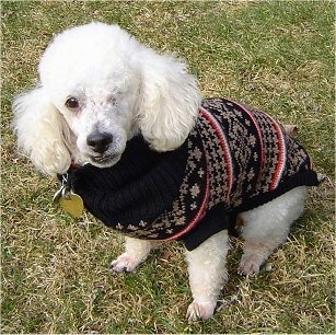 A one eyed white Miniature Poodle dog is sitting in grass and looking up. It is wearing a black, red and white sweater.