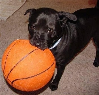 Thunder Dogg the black Chabrador standing on a carpet with a basketball in his mouth