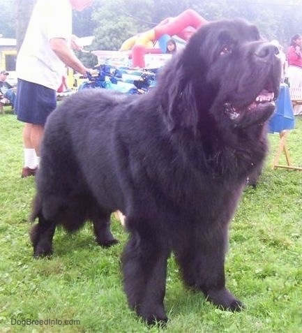 Front side view - A giant, black Newfoundland is standing in grass and looking up and to the right. Its mouth is open, and there is a party going on behind it.