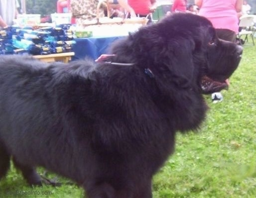 Right Profile - A black Newfoundland is standing in grass and behind it is another dog. Both of there mouths are open. The dog is outside at a party.