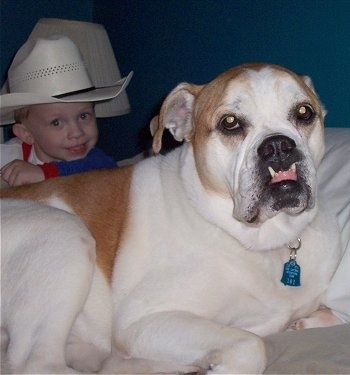 Close up - A tan with white Olde English Bulldogge is laying on a human's bed in front of a little boy in a cowboy hat. The dog has a big underbite causing its front teeth to rest on its upper lips.