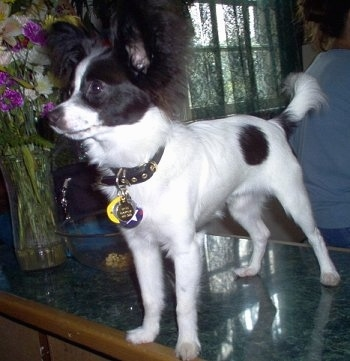 Front side view - A white with black Papillon Puppy is standing on a marble coffee table looking to the left.