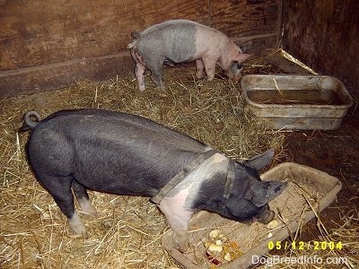 A pink with black Piglet is eating hay and it is standing near a backwall. There is a black with pink Piglet eating apples out of a pan. They are inside of a barn stall.