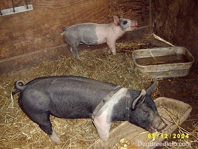 A pink and black piglet is standing in the back of a barn and it is looking up, its mouth is slightly open. There is a black with pink piglet eating apples out of a pan.