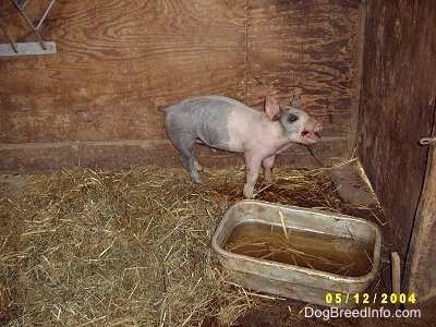 A pink and black Piglet is standing in Hay against the back wall of their enclosure inside of a barn. It has its mouth open because it is chewing on an apple.