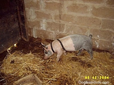 A pink and black Piglet is sniffing the dirt that is exposed next to hay inside of an old barn.