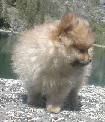 Front view of an orange sable Pomeranian puppy standing on a rock and behind it is a body of water. It is looking to the right. It has a fluffy coat.