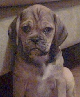 Close up head and upper body shot - A brown with black wrinkly faced Puggle puppy is sitting against a couch and it is looking forward.