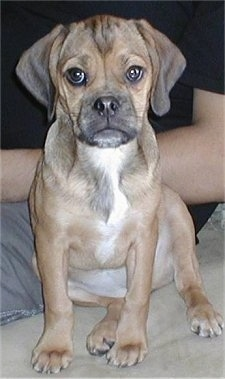 Close up front view - A brown with black and white wrinkly faced Puggle puppy is sitting on a couch and there is a person behind it.