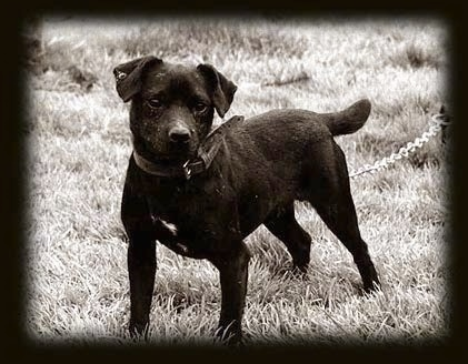 Patterdale Terrier Dog Breed Information And Pictures