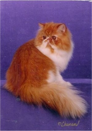 Bicolor Persian Cat is sitting on a purple backdrop. It is sitting with its back to the camera holder and its head is turned to the left