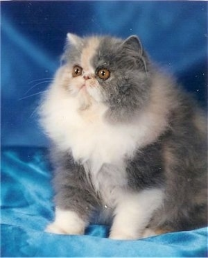 Chantilly Lace the Bicolor Persian Cat is sitting on a blue backdrop and looking to the left