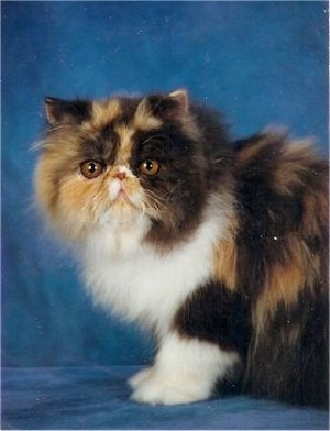 Puzzle Kirei the calico Persian cat is sitting on a blue backdrop and looking towards the camera holder
