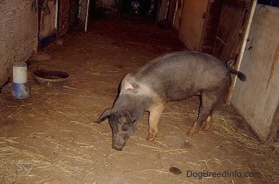 A black with pink pig is sniffing around through a barn