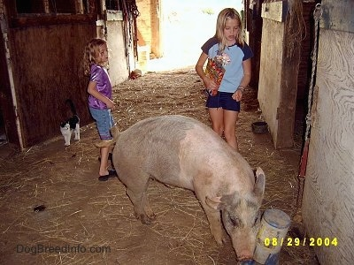 A blonde-haired girl in a blue shirt and a blonde-haired girl in a purple shirt are watching a gray and pink pig eat from a cat food dispenser